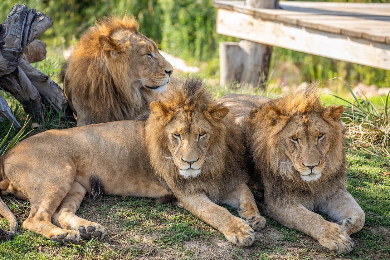 three lions lazing about